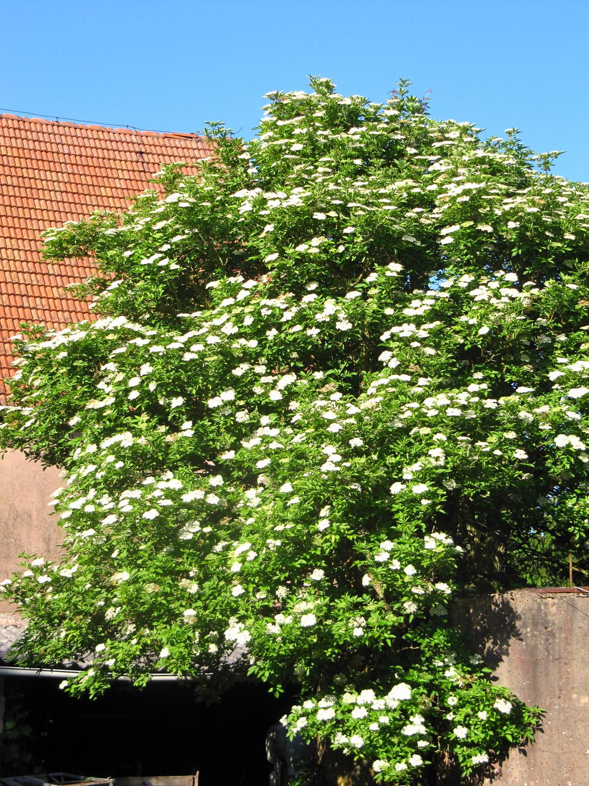 Madam Rote Rübe - Holler-Vollkornküchlein Blütenwolke