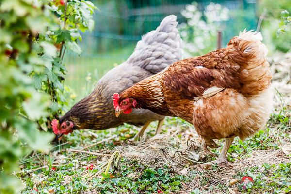 Madam Rote Rübe - Hühner