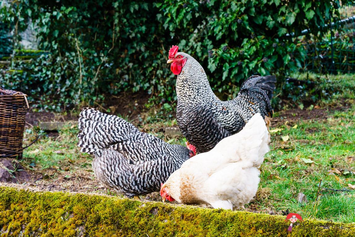 Madam Rote Rübe - Foodblog - Eierbutter - Hühner