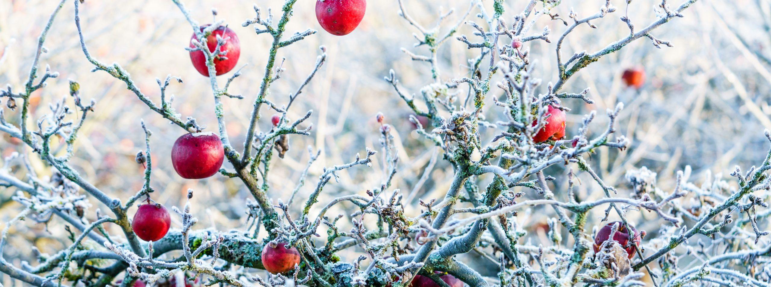 Madam Rote Rübe - Winterapfel