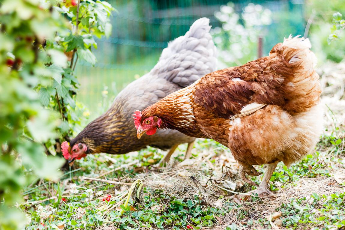 Madam Rote Rübe - Hühner am Johannisbeerstrauch