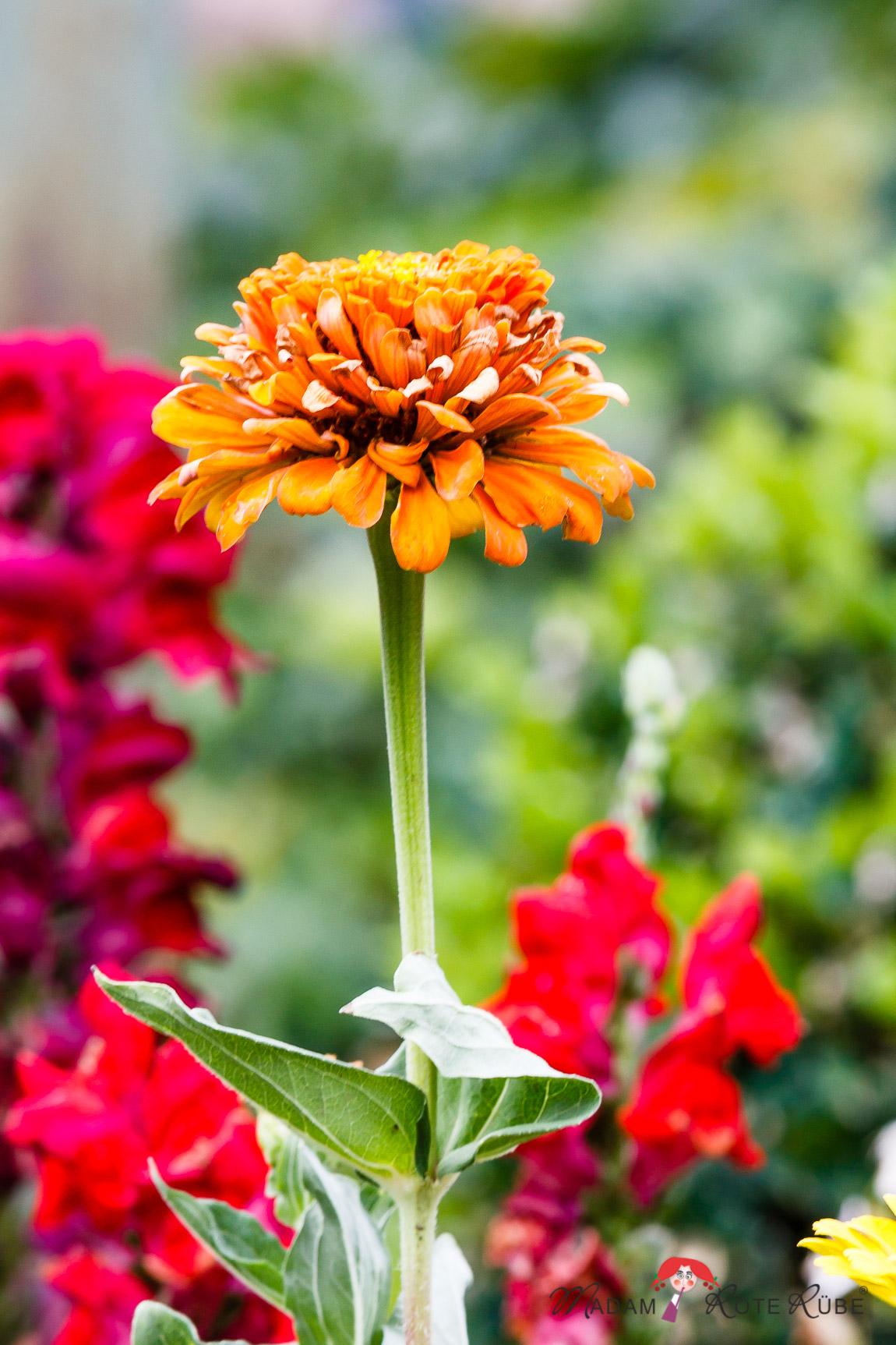 Madam Rote Rübe - Im Garten